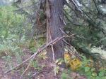 Капканое дерево.