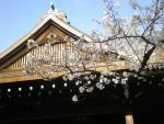 Скоро зацветет сакура... (старт Ханами дан в храме Ясукуни)