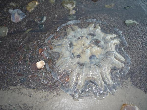 А вот медузы большие появились!